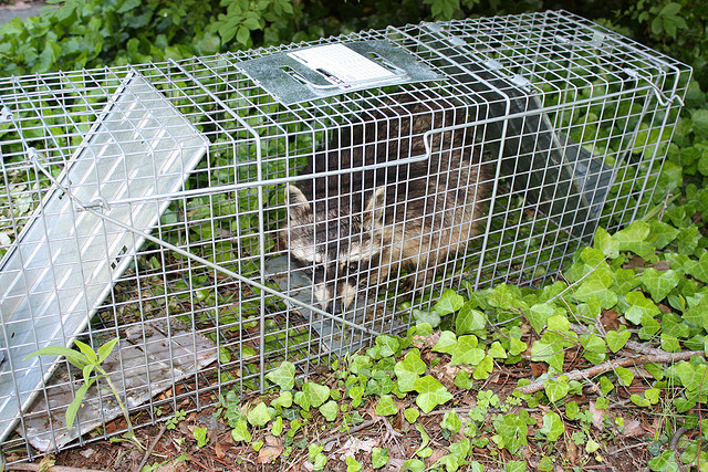 How to keep raccoons out of your garden motion sensor sprinklers How to keep raccoons out of garden