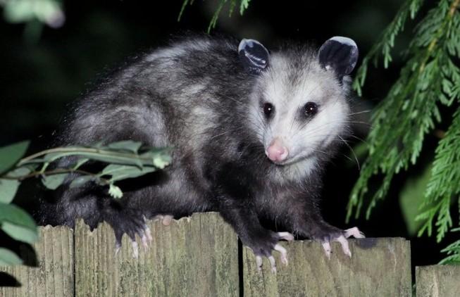 keep opossum out of garden