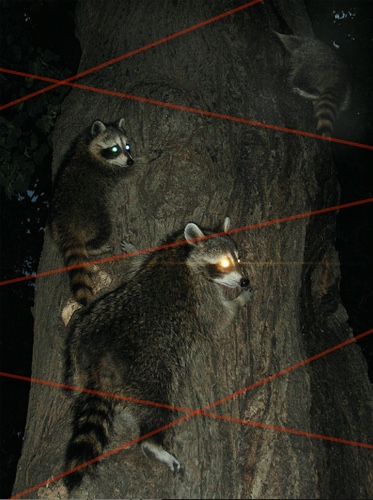 raccoons lasers