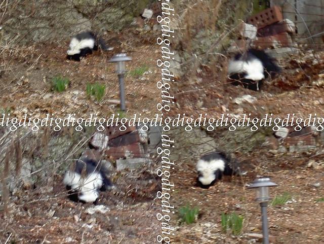 skunk digging