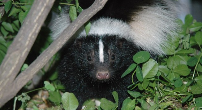 skunk garden