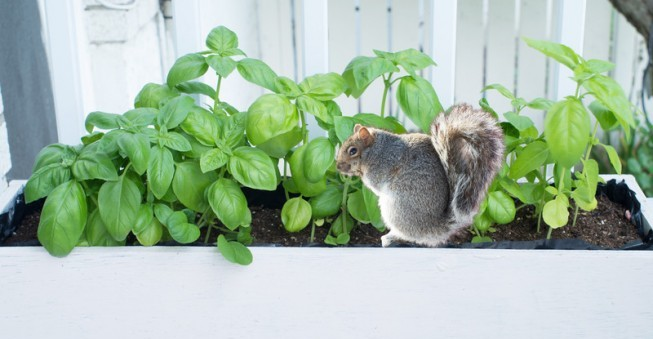 squirrel garden basil